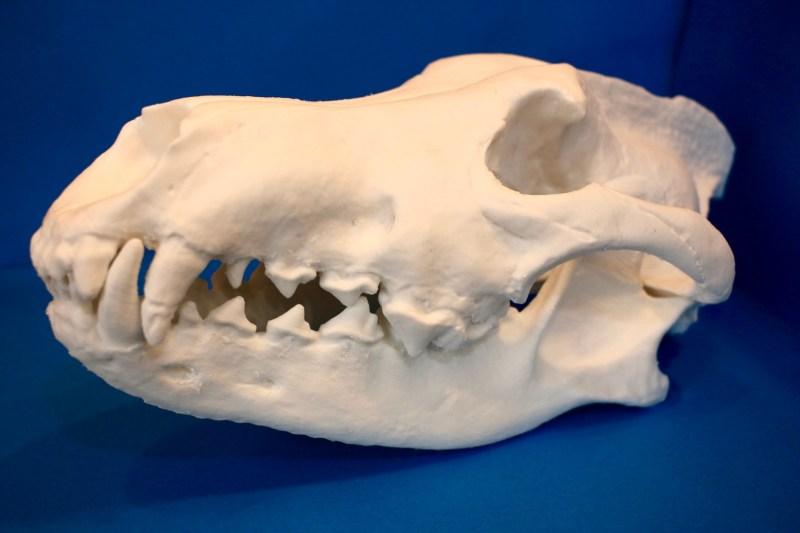 ダイアウルフの頭骨