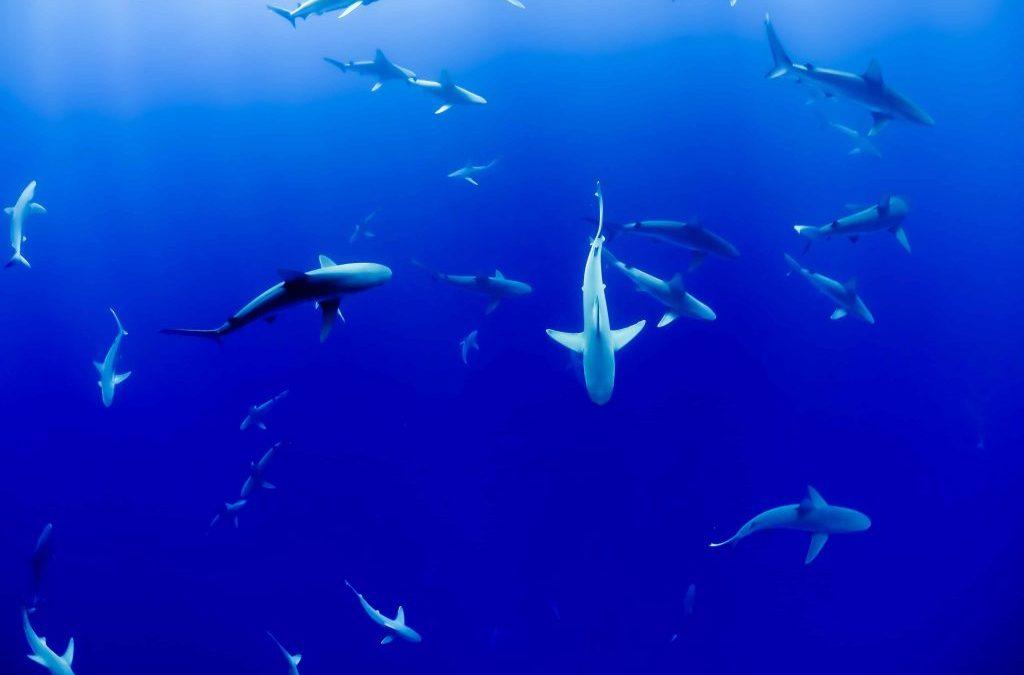 Requin, vrai coupable ou fantasme ?