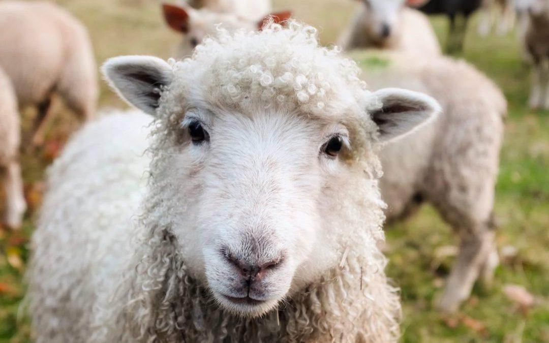 L'histoire de Dolly, la brebis clonée par génie génétique