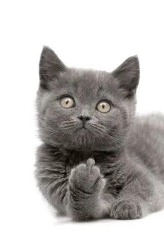 Gato preto engraçado