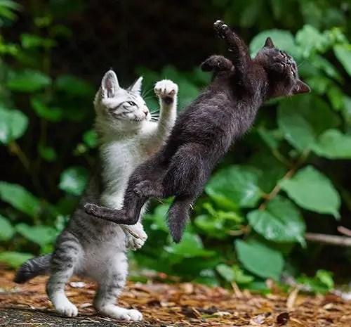 Ilustração de gatos lutando