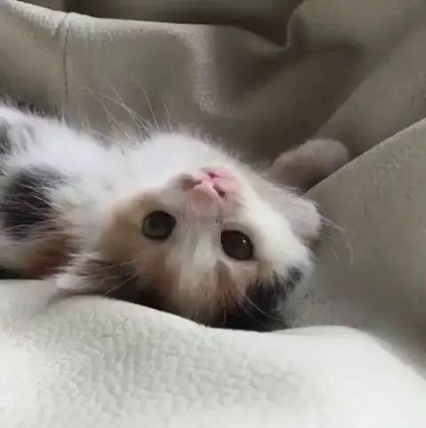 Gatinho deitado