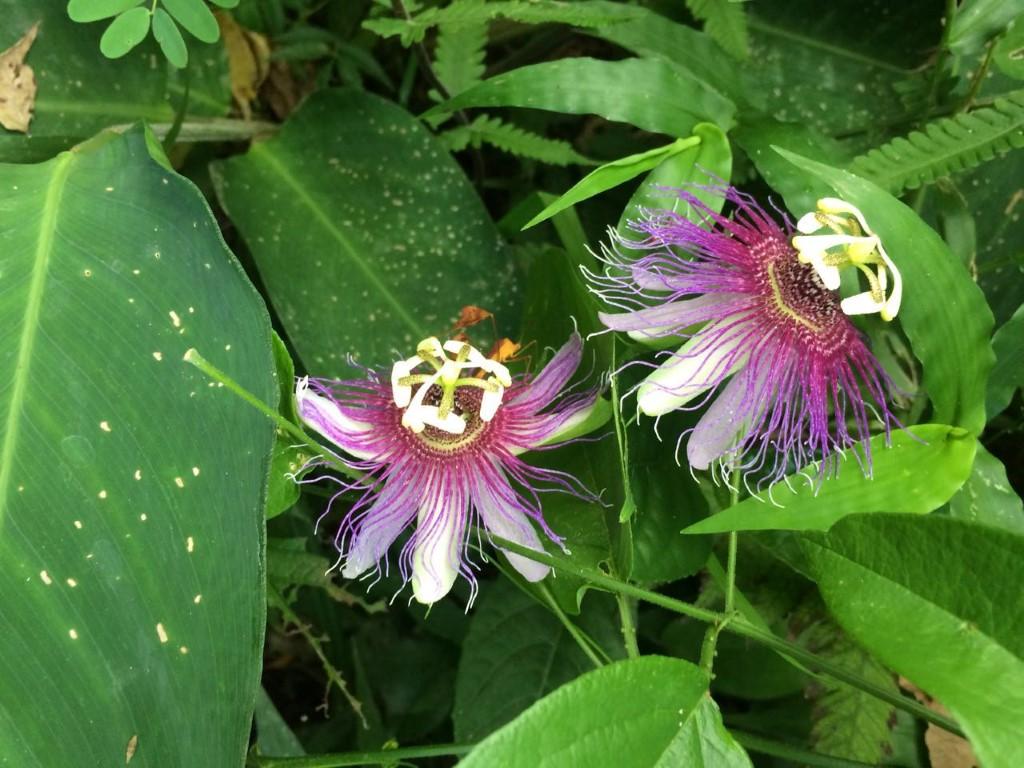 Paciflora edulis: Hierba con uso medicinal utilizada por las comunidades asentadas en el municipio de Puerto Cortés.