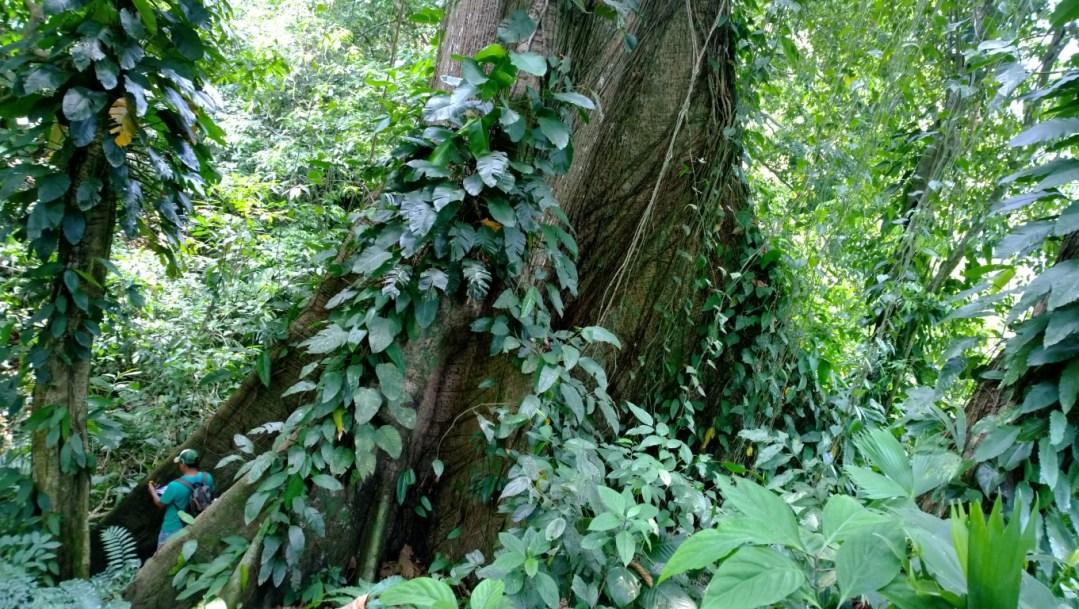 Arbol de Ceiba (Ceiba pentandra) llamado por los mayas como conexion del cielo con el Inframundo por su altura a la que se desarrolla y la profundidad de sus raices (Medium)