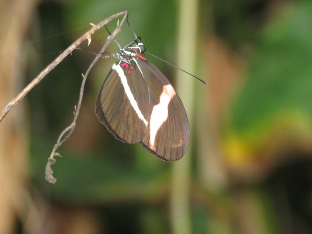 Lepidoptera se mucha importancia en los ecosistemas de Puerto Cortes.