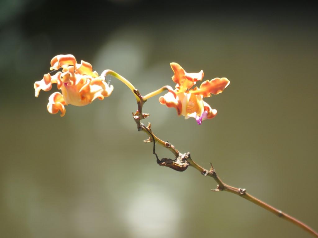 Especies de Orquídeas presentes en los humedales de Puerto Cortes.