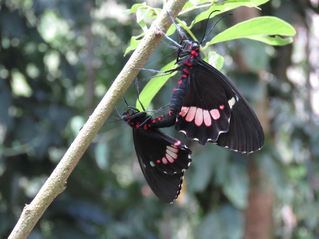 Reproducción de Lepidópteros.