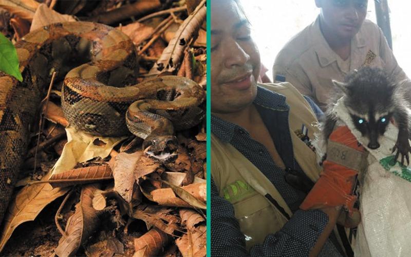 Rescatamos y liberamos de dos especies de fauna silvestre.
