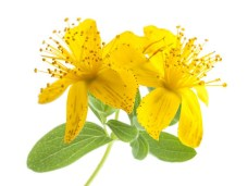 St. John's Wort Flower Heads