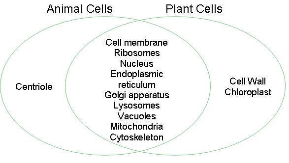 Prokaryotic Plant Cell Animal Cell Venn Diagram