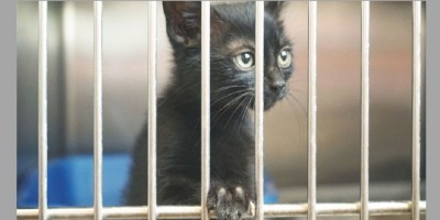 Black cats, bad luck getting adopted