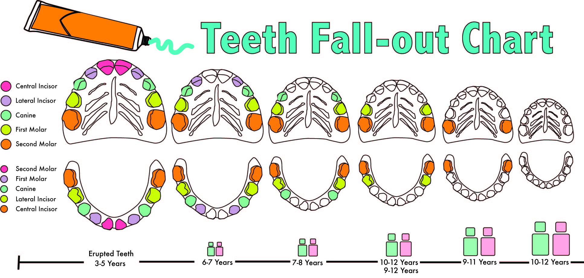 When Do Baby Teeth Fall Out Diagram | amulette