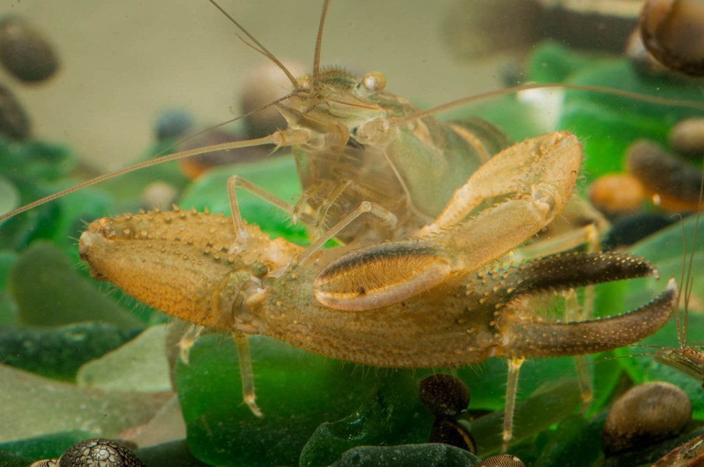 The Commander, a freshwater crayfish, grooms his large claw in preparation for Tuesday's festivities.