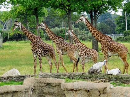 Herd of giraffes.