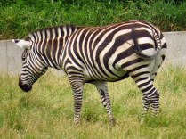 Grants zebra - notice this one has a tail, the other doesn't.