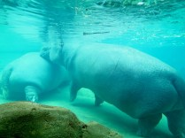 Underwater view of the hippos.