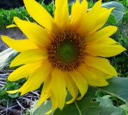 Sunflower - my sharpest image.