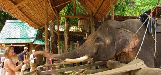 A girl feeds the elephants in Khao Sok National Park