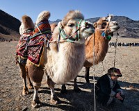 Nomadic Expeditions offers an opportunity to ride a camel through Mongolia's Gobi Desert. Credit Nomadic Expeditions.
