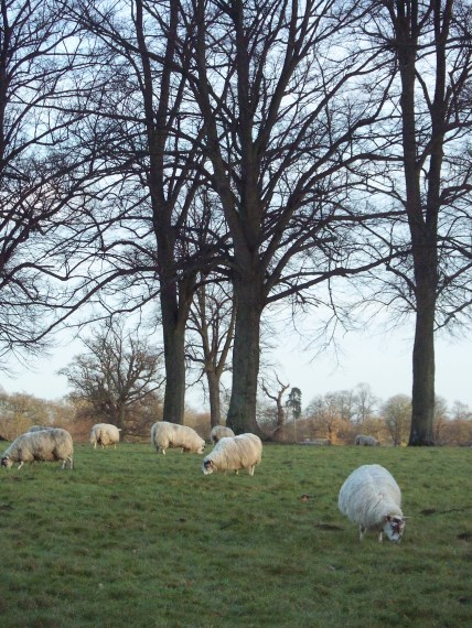 Sheep grazing in Oxfordshire, England.
