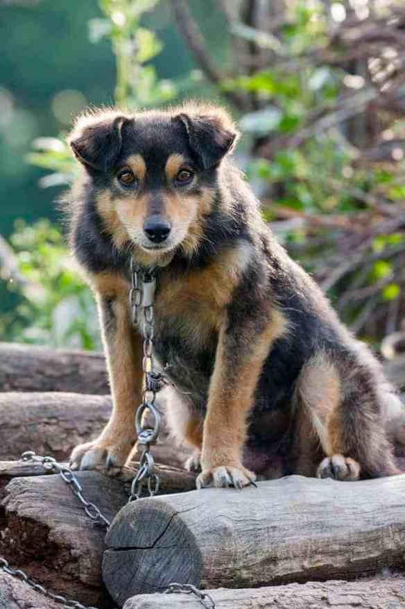 Curious chained dog on a pile of wood.