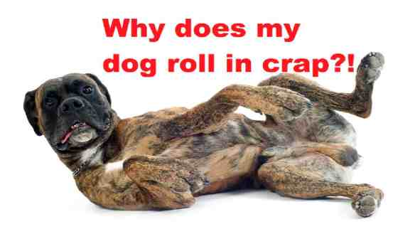 why dogs roll in poop