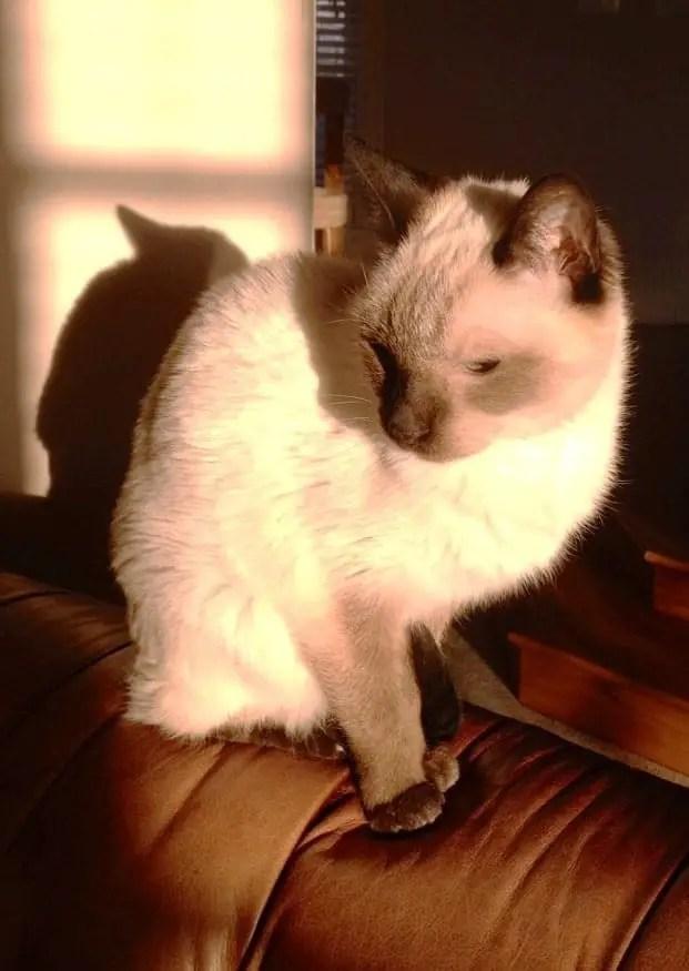 cats sunburn