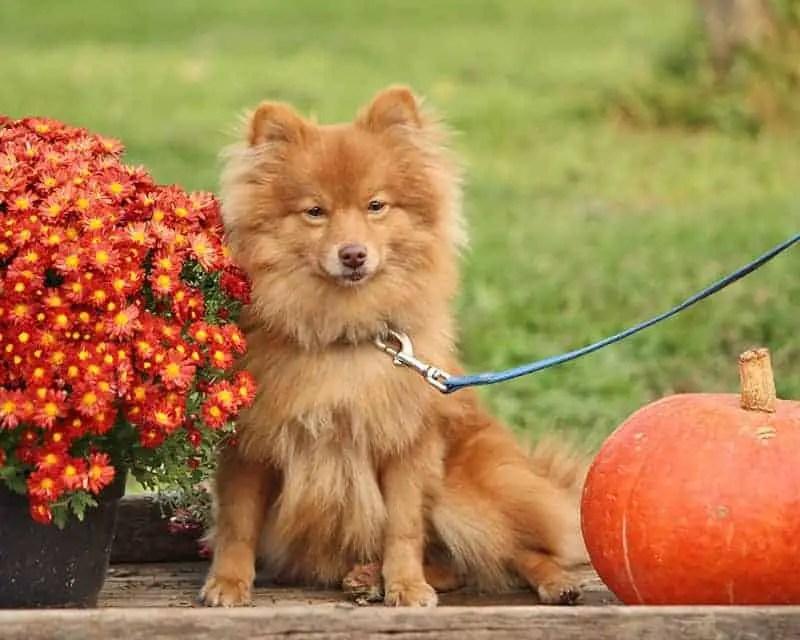 Pomeranian-RickieB20-Flickr