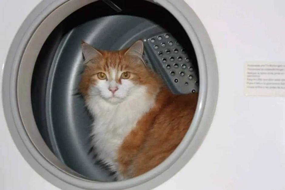 cat in dryer