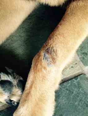 canine acral lick granuloma