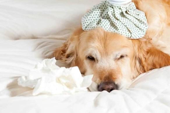 Dog with flu