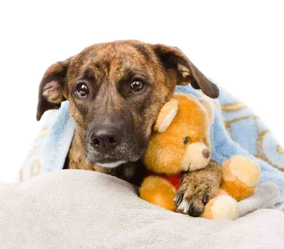 Dog falls asleep in the arms of a stuffed toy. isolated on white