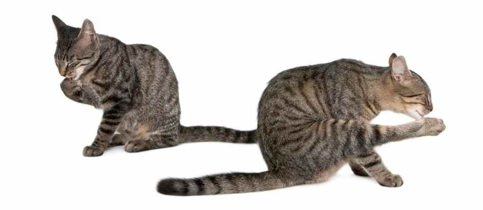 Mixed-breed cats, Felis catus, 6 months old, grooming sitting in front of white background