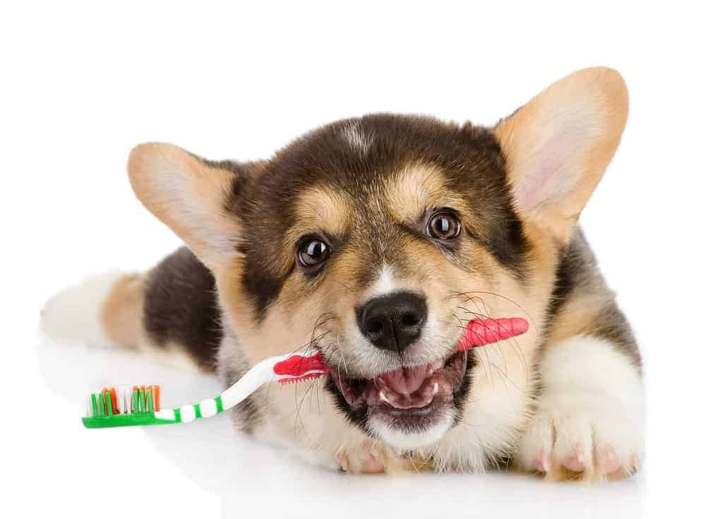 Reach pups early to accept teeth brushing