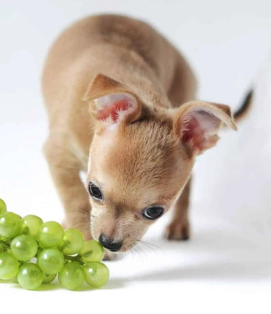 grape toxicity