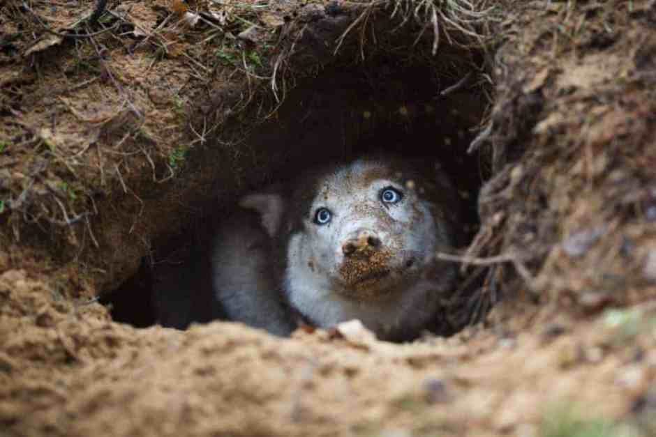 Northern breeds like the Husky instinctively dig holes to stay cool...or warm.