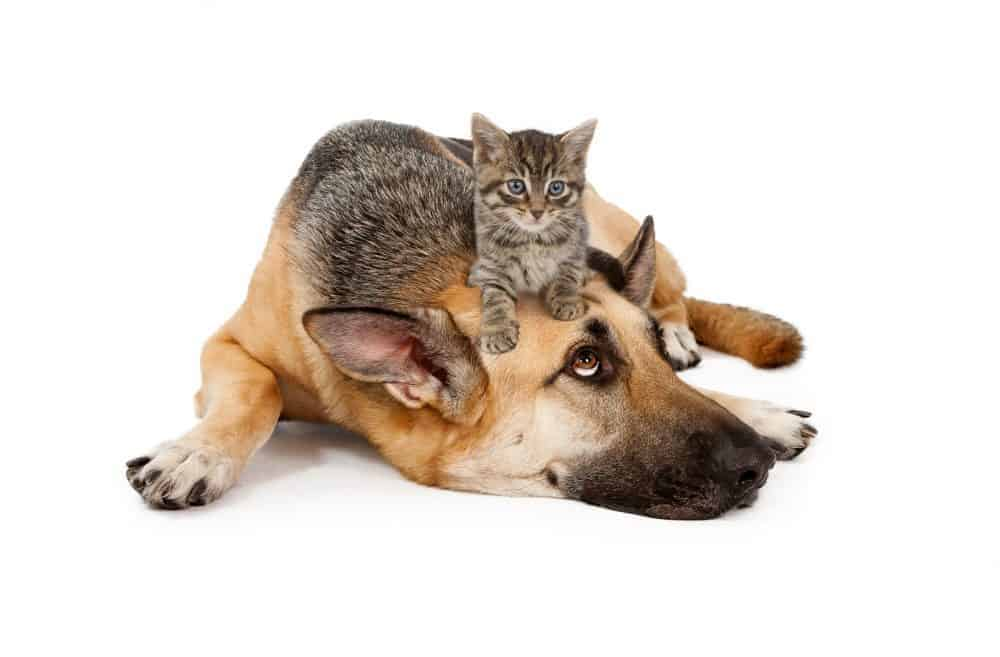 ringworm affects kittens and old pets