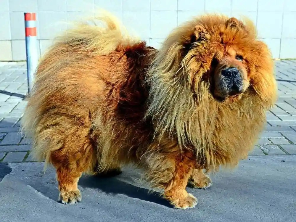 furry chow chow prone to hot spots
