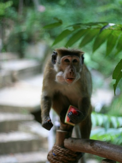Sri Lanka Monkey
