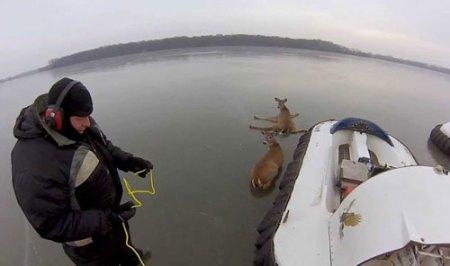 deer-rescue1