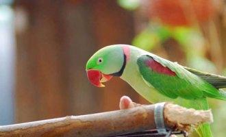 Paco-The-parakeet