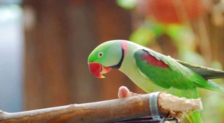Paco-The-parakeet