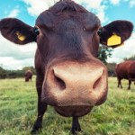 Would You Believe Some People Really Think Chocolate Milk Comes From Brown Cows?