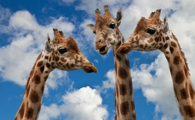 Giraffes Chatting to Represent Twitter Chats