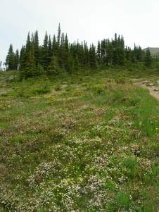 Cavell Meadows trail