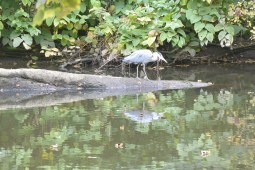 Heron on the Kelvin