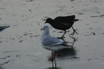 Birds on South Inch pond