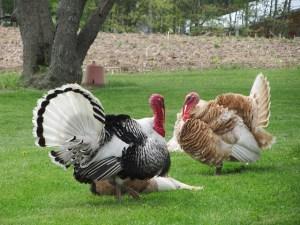 turkey-72771_640