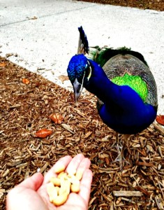 Feeding peacocks at Ponce de Leon's Fountain of Youth Archaeological Park