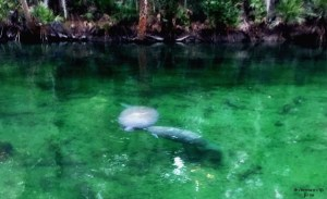 Mother and baby manatees at Blue Spring State Park